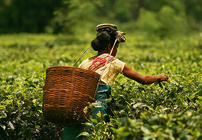 North East Tea Plantations