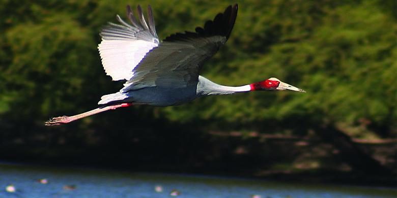 Sargus-Crane-bharatpur